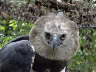 Harpy Eagle - Amazon Rainforest- Endangered species