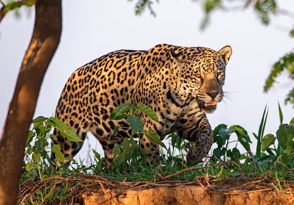 endangered species Jaguar drinking from water