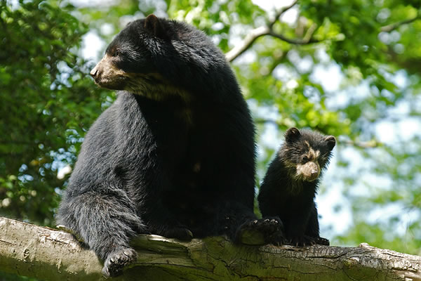 bear and cub in tree