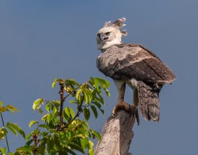 Harpy Eagle on Tree