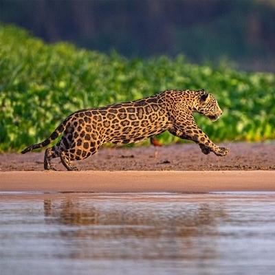 jaguar running amazon rainforest peru