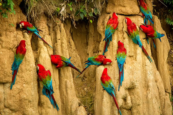 Red parrot in the Amazon Rainforest
